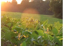 Soy Bean Field across from our house